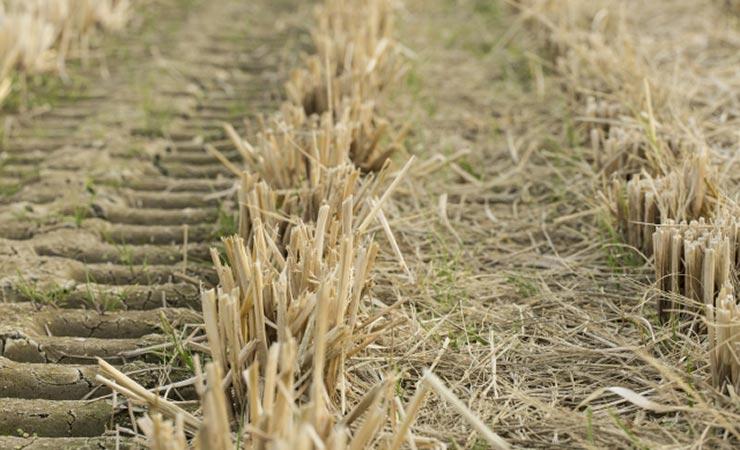 稲刈りした後の田んぼでも土が柔らかくてでこぼこしています