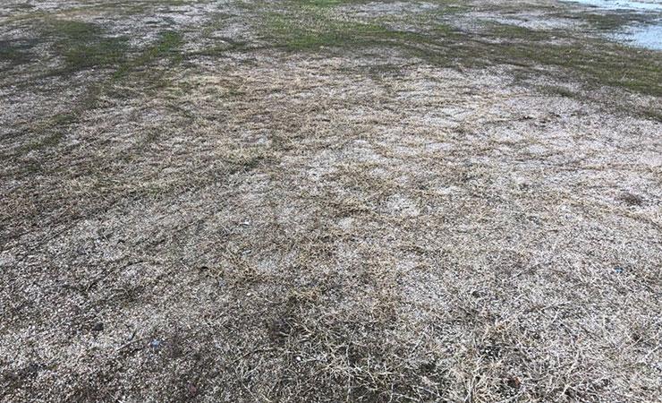 イベント続きで芝生が傷んでしまっている